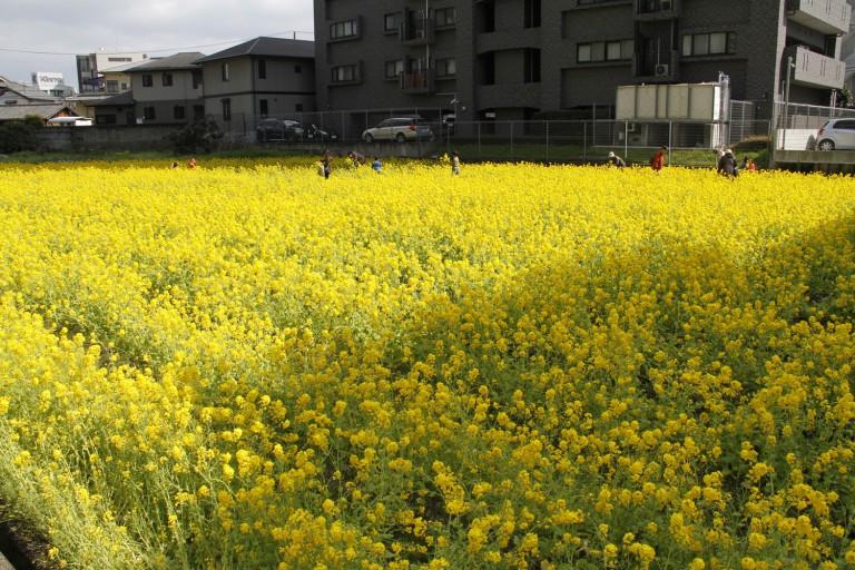 菜の花摘み
