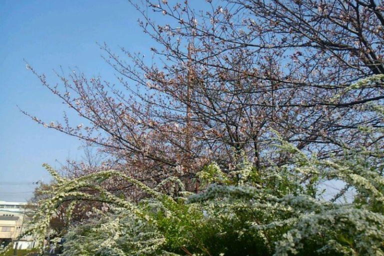 桜ユキヤナギ