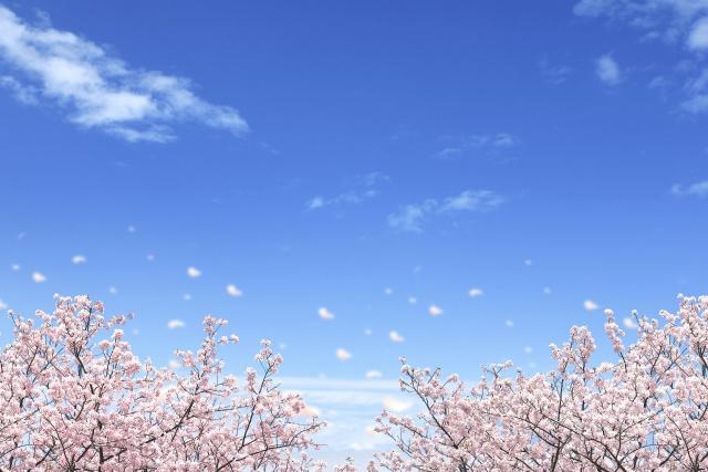 桜 新学期